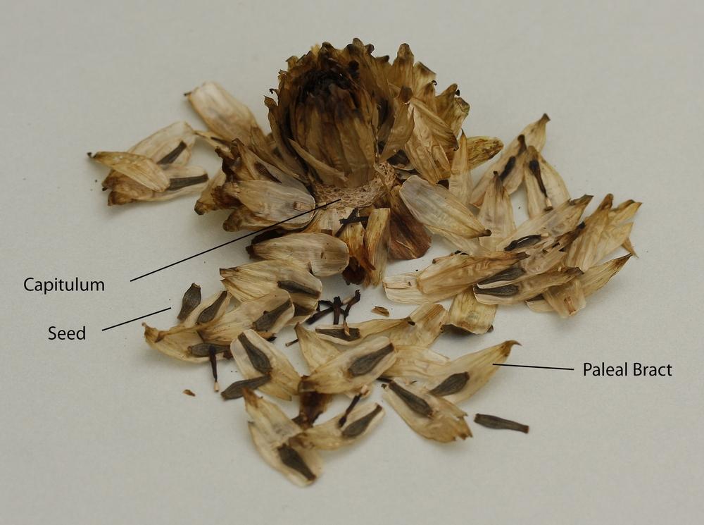 Keith Hammett Dry Seed Pod