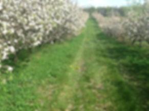 apples in bloom