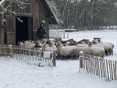 De schapen gaan op stal.