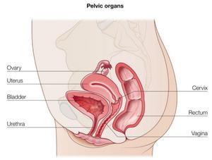 Pelvic organs explaining pelvic organ prolapse