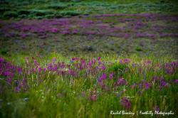 Wildflowers Flattops 3.jpg