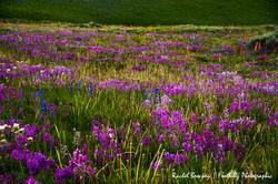Wildflowers Flattops 5.jpg