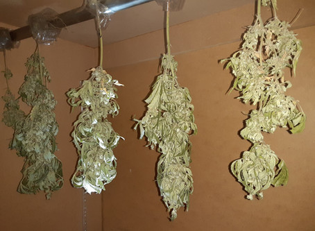Drying outdoor weed with the Weed Guys.
