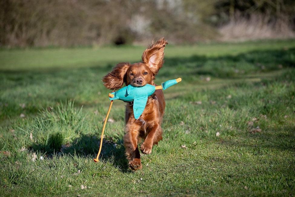 dog carrying bird puppy dummy