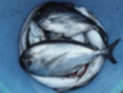 poissons Pail