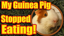 guineastoppedeatingthumb.jpg