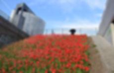 tulpen in bloei op talud zuidas