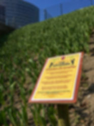 de tulpen groeien op zuidas en informatiebordje over project