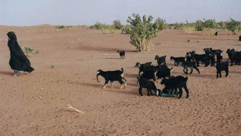Chèvres du désert