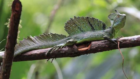 Iguane vert - Tortuguero