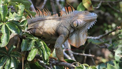 Iguane dragon - Tortuguero