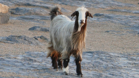 Chèvre omanaise