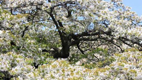 Cerisier en fleurs - Tokyo