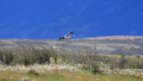 Oie de Magelan - El Calafate - Argentine