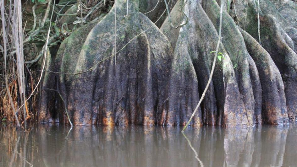 Mangrove - Tortuguero