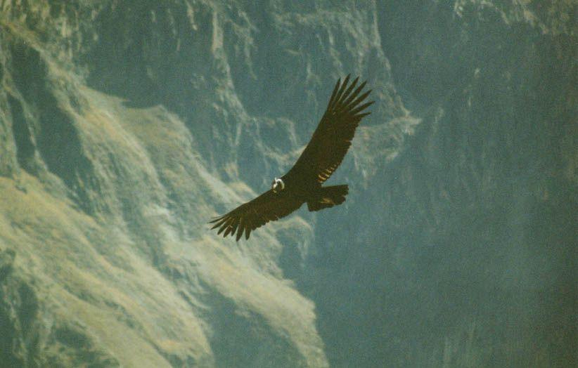 Condor - Canyon de Colca