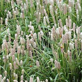 Psyllium-Seeds-Plantago-psyllium_1_1024x