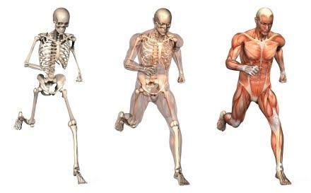 musculos-e-esqueleto.jpg