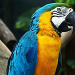 blue-yellow-macaw-parrot-max