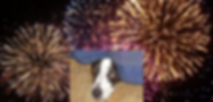 Dog & Fireworks.png