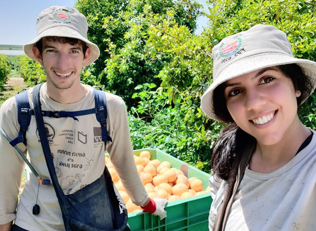 Educators Lend Farmers a Hand in the Citrus Orchards