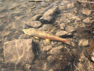 Brown Trout 3.jpg