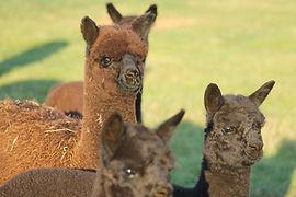 Keeping and breeding alpacas