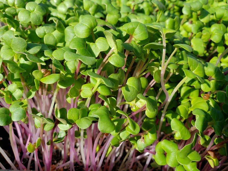 Future of Microgreens
