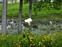 Two Egrets and a Calla Lily