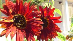 Evening Sunflower Twins