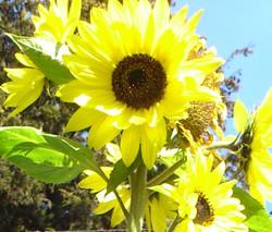 Sunny Flower Bright
