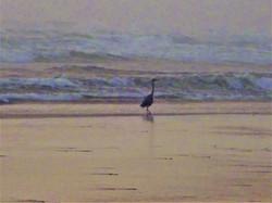 Beach Heron at Dusk