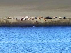 Sealions at River's Edge