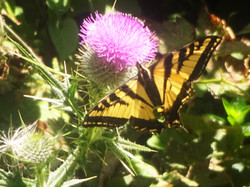 Butterfly in the Wild Open Wings