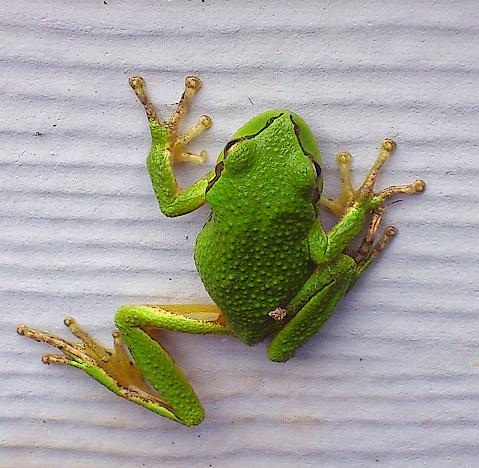 Tree Frog Climb