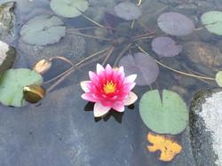 Lotus Surprise
