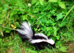 Backyard Baby Skunk