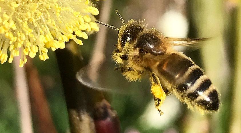 Honey been on dandelion