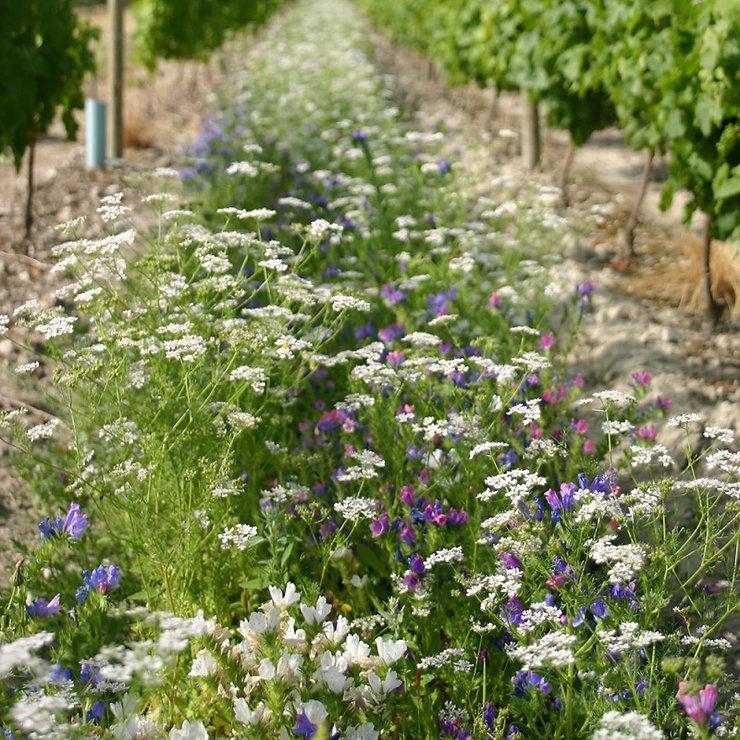 jachere-vignes-fleuries-vivaces.jpg