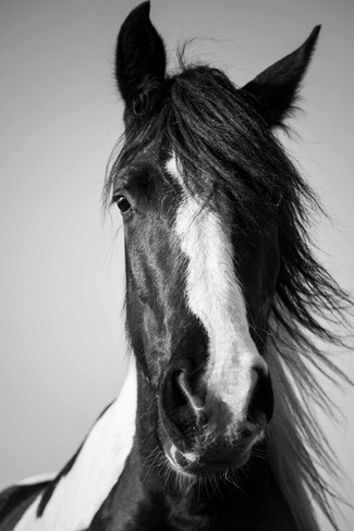 portrait-cheval-noiretblanc-auvergne