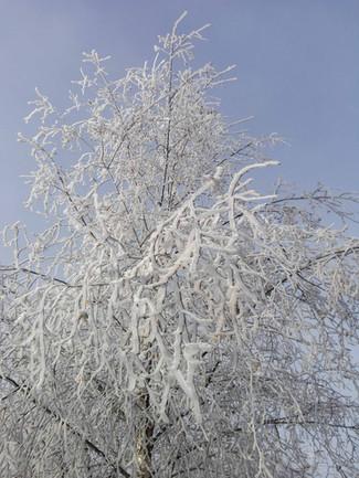 arbre-givre-blanc-hiver-auvergne