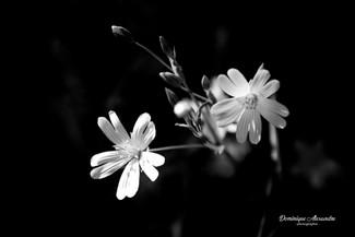 fleur-printemps-noiretblanc-auvergne