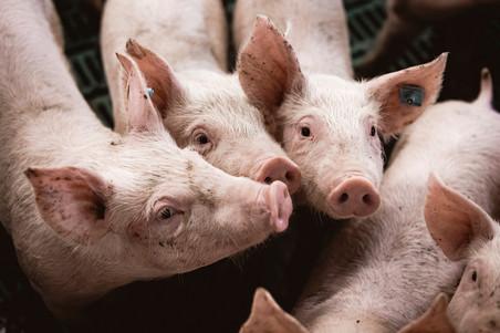 191 LKV -  Schweine - WEB.jpg