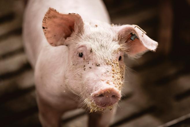 167 LKV -  Schweine - WEB.jpg