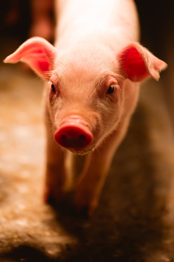 91 LKV -  Schweine - WEB.jpg