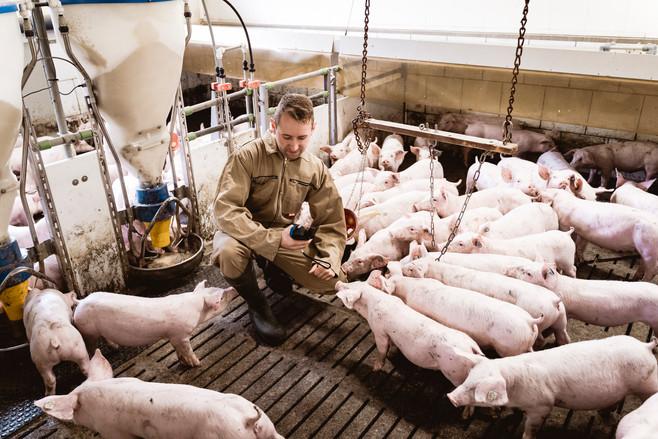 211 LKV -  Schweine - WEB.jpg