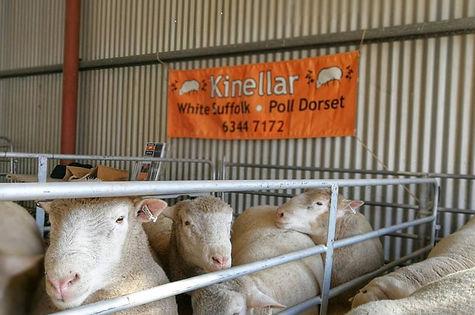Poll Dorset Rams and Sign.jpg