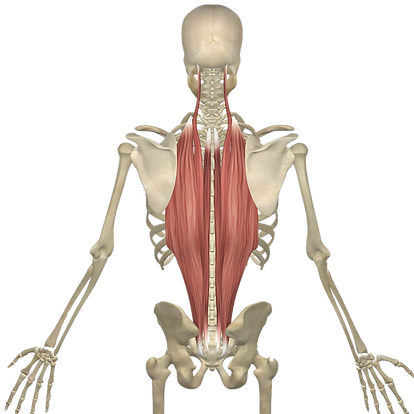 An illustrated skeleton showing the length and connection of the erector spinae muscles
