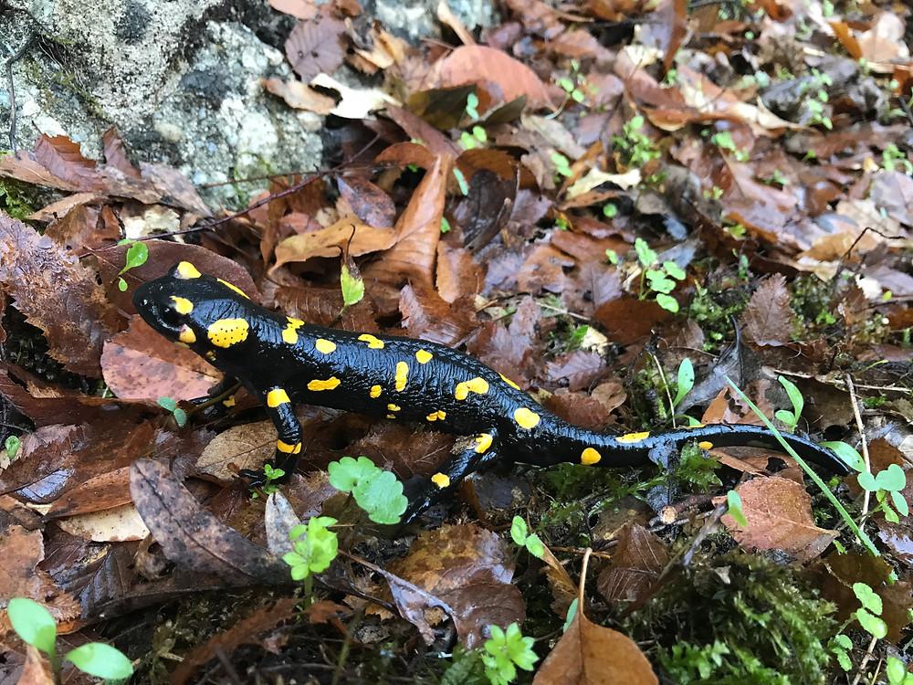 A salamander!