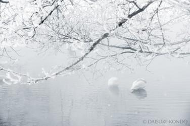 Whooper swans at lake Kussharo